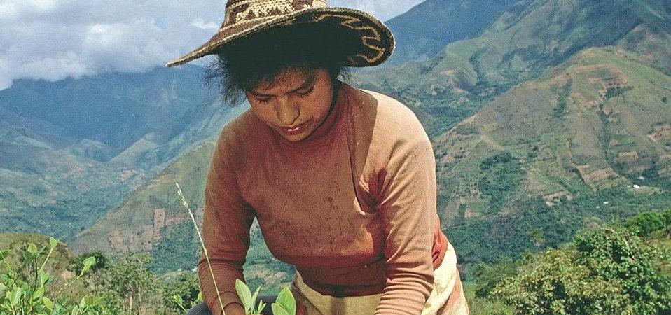Koka je v peruánských Andách doma a její pěstování je absolutně nenáročné