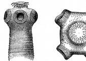 tasemnice, parazit