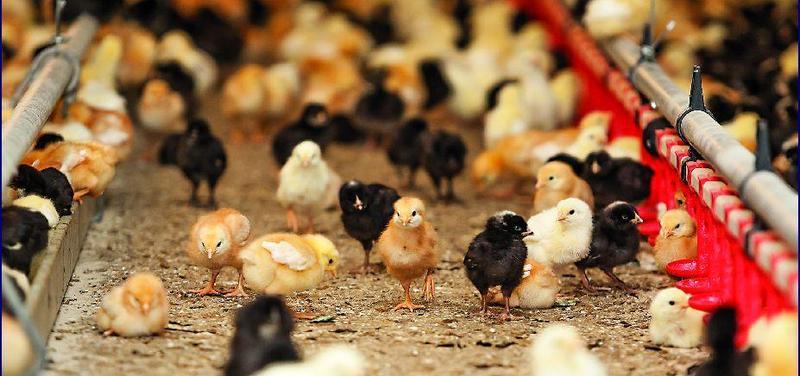 drůbež, ptačí chřipka