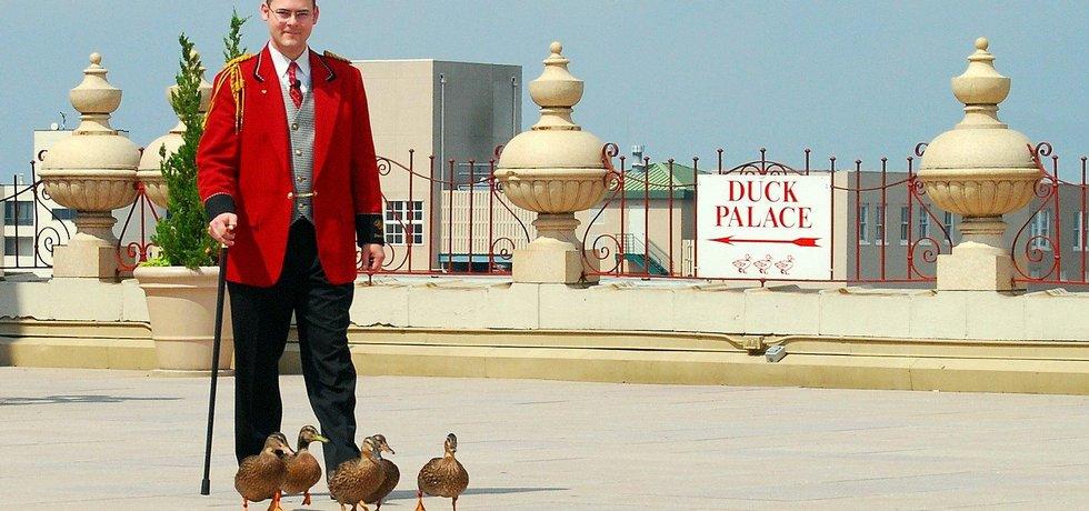 Kachní doprovod v hotelu Peabody