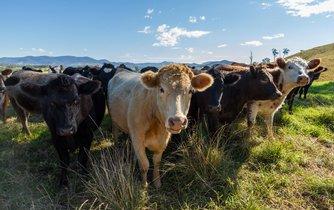 Krávy, ilustrační foto