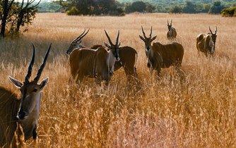 Antilopy - ilustrační foto