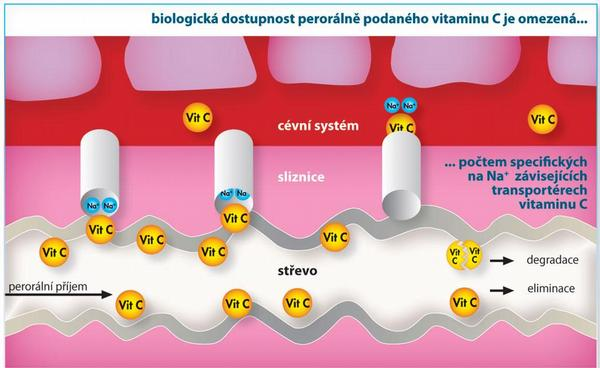 Obr. 2 Biologická dostupnost perorálně podaného vitaminu C je omezená, p. o.; vitamin C je aktivněa závisle na Na+ vstřebáván prostřednictvím speciálních transportérů. Resorpční kapacita klesá s rostoucí jednorázovou dávkou a dosažením saturace transportérů.