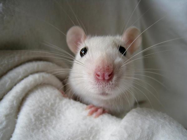 myš, laboratoř, výzkum