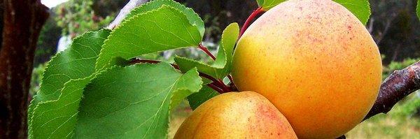 Mrazy poničily úrodu českých ovocnářů, meruňky zřejmě nebudou