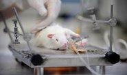 Potkan v laboratoři.