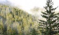 Masivní výsadba jehličnanů přispívá k oteplování planety, zjistili vědci