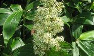 Tripterygium wilfordii