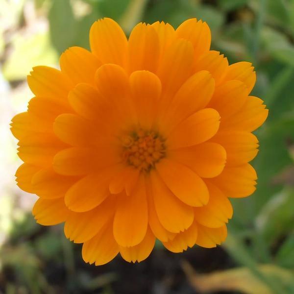 Liga proti rakovině, květ, květina