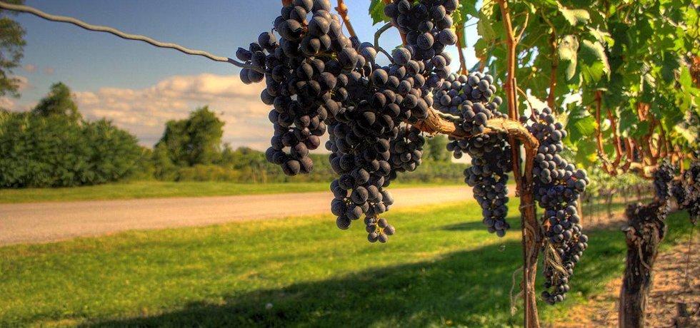 Vinobraní - ilustrační foto