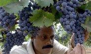 Centrem indického vinařství je stát Karnataka