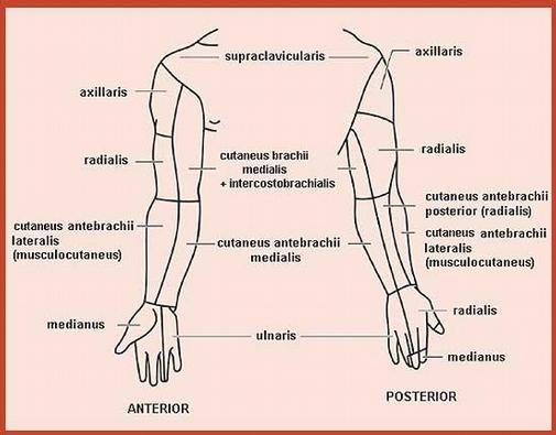 Regenerace periferních nervů