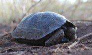 želva sloní pinzónská (G. nigra ephippium)