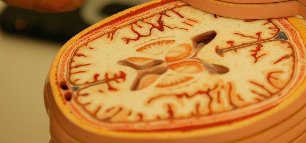 Mozek - modelový průřez