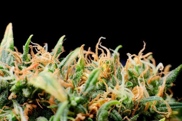 konopí, léčebné konopí, marihuana