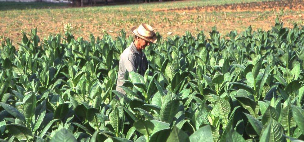 Sběr tabákových listů na Kubě
