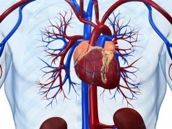 srdce, cévy