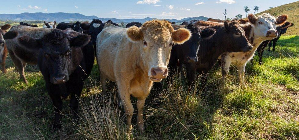 Krávy ilustrační foto
