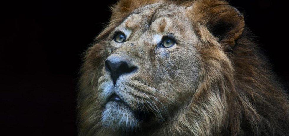 Lev je po tygrovi největší kočkovitá šelma.