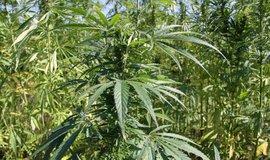 Záhon s marihuanou, ilustrační foto