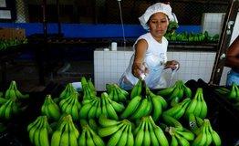 Příprava kolumbijských banánů na export, ilustrační foto