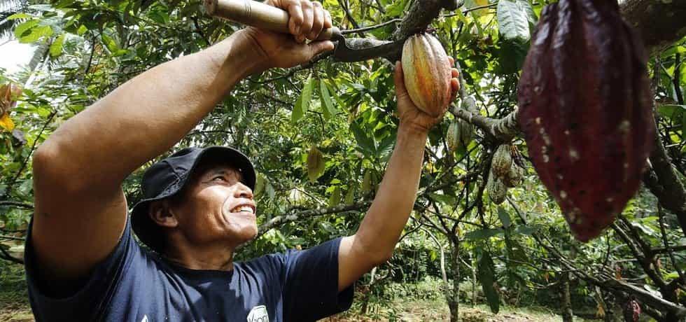 Vzácné kakao. Kvůli poklesu cen kakaa šetřili pěstitelé na ošetření letošní sklizně a výsledkem jsou drasticky nižší výnosy. Například Indonésie už kakao nevyváží, ale dováží.