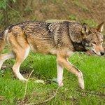 Vlk rudohnědý chovaný v zajetí, ilustrační foto