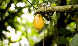 Plody kakaovníku
