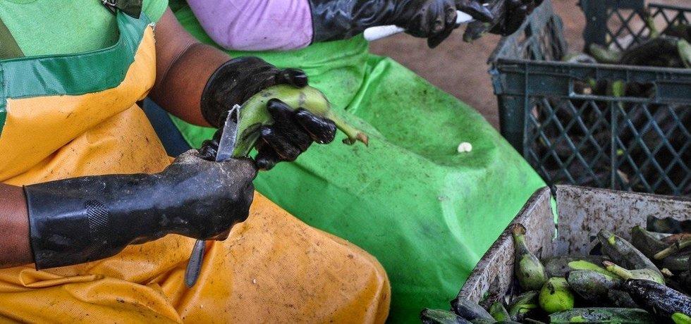 Ženy zpracovávají banány v továrně na výrobu mouky v Ekvádoru.