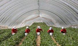 Sběrači německých jahod z Polska, ilustrační foto