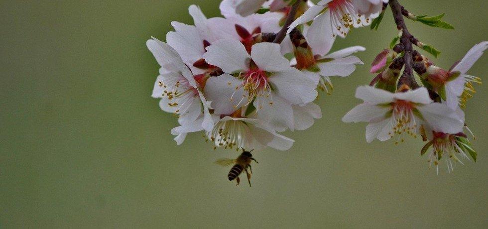 Opylování květů mandloně, ilustrační foto