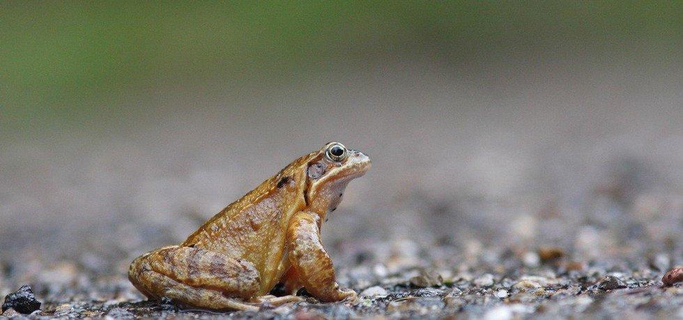 Až se žáby rozhodnou vyrazit na Hrad, poslouží jim lužní chodník