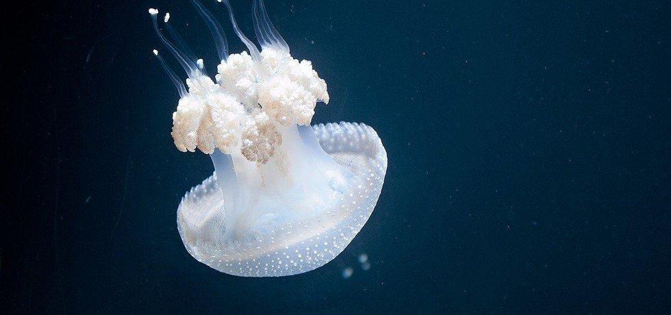 Medúza, ilustrační foto
