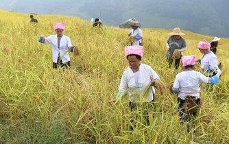 Rýžové pole - ilustrační foto