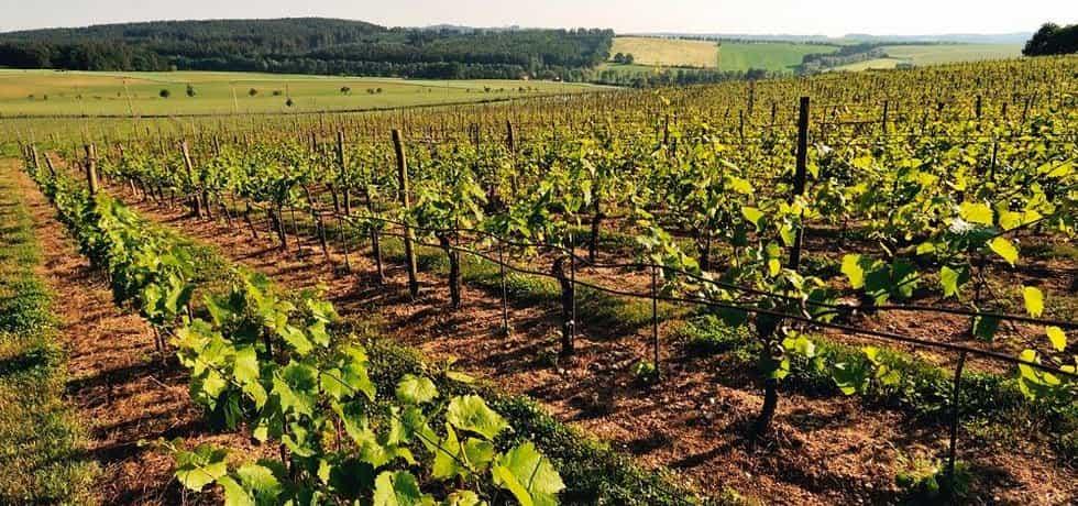 Škody na vinohradech vinaři odhadují na stovky milionů korun