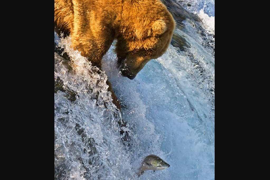 Medvěd Grizzly loví lososy v Brooks Falls v národním parku Katmai.