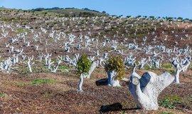 Pěstování avokáda v Kalifornii, ilustrační foto