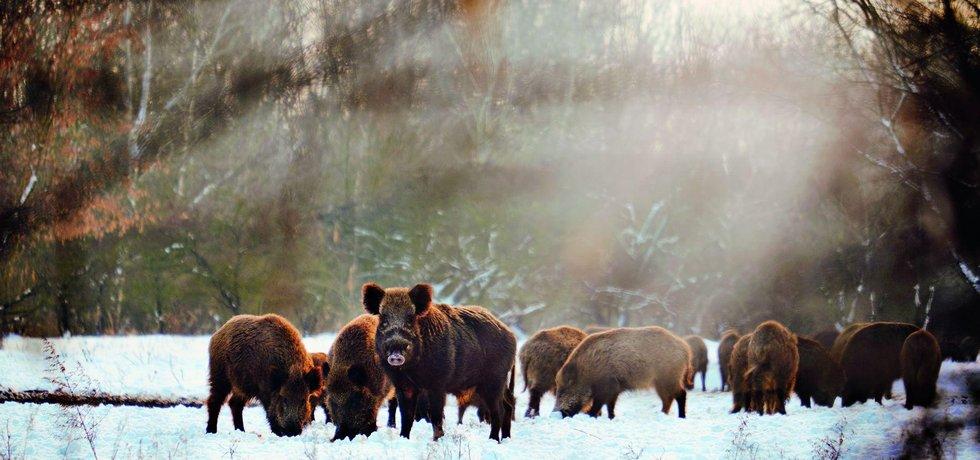 Divoká prasata - ilustrační foto