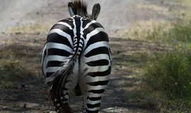 Zebra, ilustrační foto