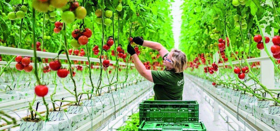 Podle údajů největšího tuzemského stavitele skleníků společnosti NWT tak v Česku mezi lety 2016 a 2020 vzniklo nebo ještě vznikne celkem 53,3 hektaru skleníků pro celoroční pěstování zeleniny za 2,7 miliardy korun.