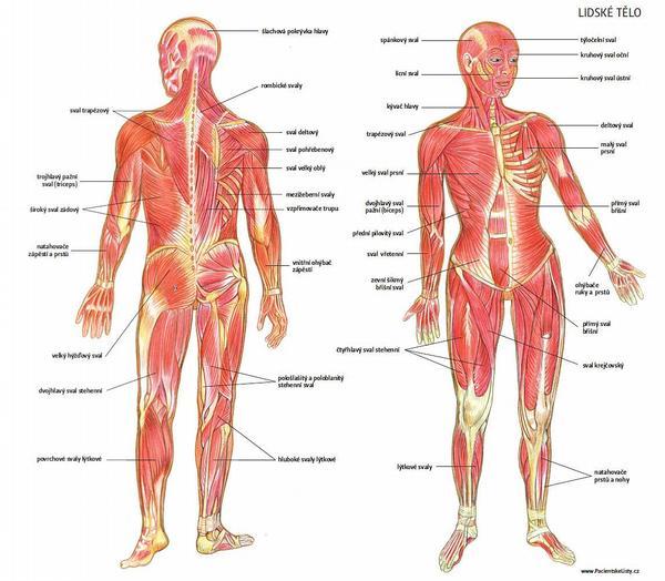 svaly lidského těla