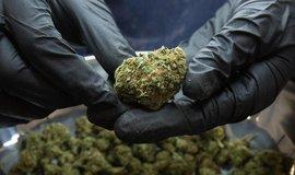 Sklizeň marihuany pro lékařské účely