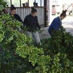 Brigádníci zavěšují chmel do unašečů zpracovatelské linky