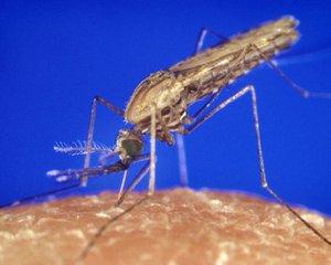Komár Anopheles gambiae je přenašečem malárie v subsaharské Africe. Genová manipulace má vést k jeho sterilitě.