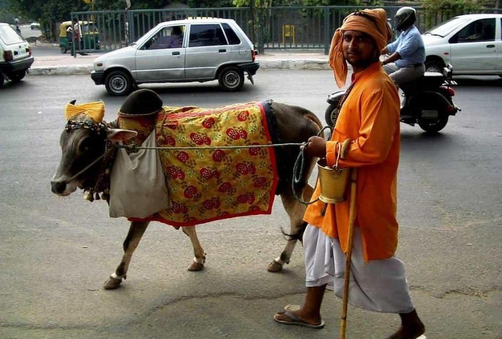 Posvátná kráva v Dillí.
