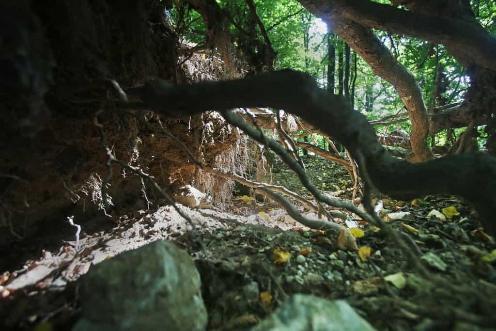 Kopáči odkrývají celé kořeny stromů