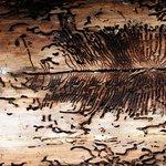 Strom napadený kůrovcem - ilustrační foto