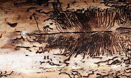 Zlý zákeřník ten kůrovec. Kalamita postihla Šumavu už před 150 lety