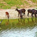 Samec antilopy impala a samice vodušky