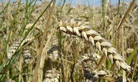 Pšeničný klas. Ilustrační foto.